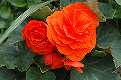 Nonstop® Golden Orange Begonia (Begonia 'Nonstop Golden Orange') at English Gardens