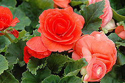 Nonstop® Deep Salmon Begonia (Begonia 'Nonstop Deep Salmon') at English Gardens