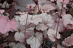 Stainless Steel Coral Bells (Heuchera 'Stainless Steel') at English Gardens