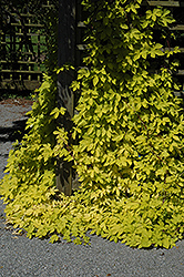 Golden Hops (Humulus lupulus 'Aureus') at English Gardens