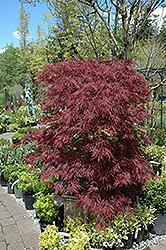 Red Dragon Japanese Maple (Acer palmatum 'Red Dragon') at English Gardens