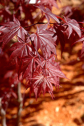 Glowing Embers Japanese Maple (Acer palmatum 'Glowing Embers') at English Gardens