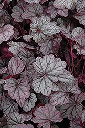 Sugar Plum Coral Bells (Heuchera 'Sugar Plum') at English Gardens