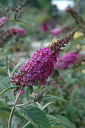 Miss Ruby Butterfly Bush (Buddleia davidii 'Miss Ruby') at English Gardens