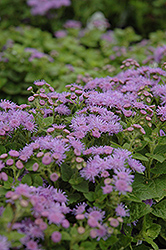 Artist Blue Flossflower (Ageratum 'Artist Blue') at English Gardens