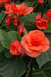 Solenia® Orange Begonia (Begonia 'Solenia Orange') at English Gardens