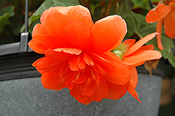 Nonstop® Orange Begonia (Begonia 'Nonstop Orange') at English Gardens