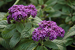 Garden Heliotrope (Heliotropium arborescens) at English Gardens