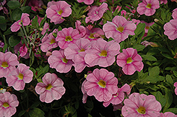 Aloha Soft Pink Calibrachoa (Calibrachoa 'Aloha Soft Pink') at English Gardens