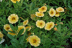 Aloha Gold Calibrachoa (Calibrachoa 'Aloha Gold') at English Gardens