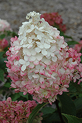 Vanilla Strawberry™ Hydrangea (Hydrangea paniculata 'Renhy') at English Gardens