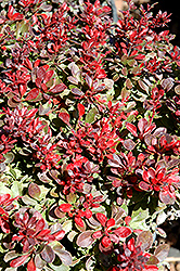 Bagatelle Japanese Barberry (Berberis thunbergii 'Bagatelle') at English Gardens