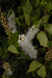Sugartina® Summersweet (Clethra alnifolia 'Crystalina') at English Gardens