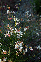 Ballerina White Gaura (Gaura lindheimeri 'Ballerina White') at English Gardens