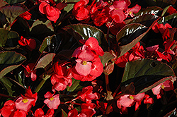 Whopper® Rose Bronze Leaf Begonia (Begonia 'Whopper Rose Bronze Leaf') at English Gardens