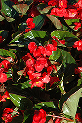 Whopper® Red Green Leaf Begonia (Begonia 'Whopper Red Green Leaf') at English Gardens