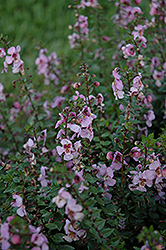 Archangel™ Pink Angelonia (Angelonia angustifolia 'Archangel Pink') at English Gardens