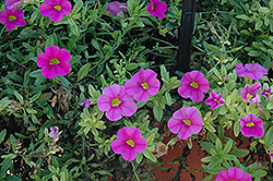 Aloha Pink Calibrachoa (Calibrachoa 'Aloha Pink') at English Gardens
