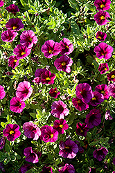 Aloha Kona Dark Lavender Calibrachoa (Calibrachoa 'Aloha Kona Dark Lavender') at English Gardens