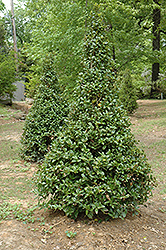 Castle Spire® Meserve Holly (Ilex x meserveae 'Hachfee') at English Gardens