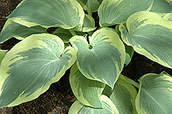Northern Exposure Hosta (Hosta 'Northern Exposure') at English Gardens