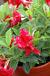 Sun Parasol® Crimson Mandevilla (Mandevilla 'Sun Parasol Crimson') at English Gardens