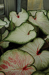 White Wonder Caladium (Caladium 'White Wonder') at English Gardens