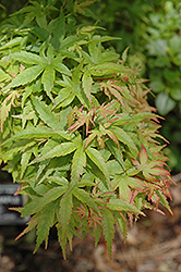 Sharp's Pygmy Japanese Maple (Acer palmatum 'Sharp's Pygmy') at English Gardens