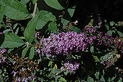 Lo And Behold® Lilac Chip Dwarf Butterfly Bush (Buddleia 'Lo And Behold Lilac Chip') at English Gardens