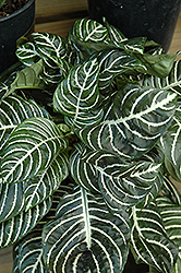 Zebra Plant (Aphelandra squarrosa) at English Gardens
