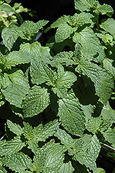 Mojito Mint (Mentha x villosa 'Mojito') at English Gardens