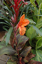 Tropicana Canna (Canna 'Tropicana') at English Gardens