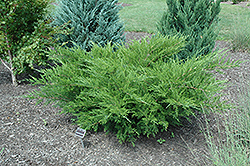 Sea Green Juniper (Juniperus chinensis 'Sea Green') at English Gardens