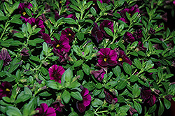 Aloha Kona Midnight Purple Calibrachoa (Calibrachoa 'Aloha Kona Midnight Purple') at English Gardens