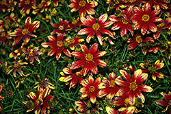 Route 66 Tickseed (Coreopsis verticillata 'Route 66') at English Gardens