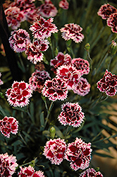 EverLast™ Lilac plus Eye Pinks (Dianthus 'EverLast Lilac Plus Eye') at English Gardens