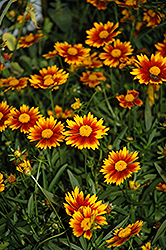 Lil' Bang™ Daybreak Tickseed (Coreopsis 'Daybreak') at English Gardens