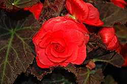 Nonstop® Mocca Cherry Begonia (Begonia 'Nonstop Mocca Cherry') at English Gardens