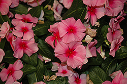Cora® Cascade Strawberry Vinca (Catharanthus roseus 'Cora Cascade Strawberry') at English Gardens