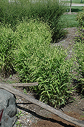 Northern Sea Oats (Chasmanthium latifolium) at English Gardens