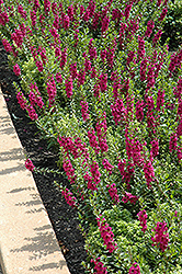 Archangel™ Raspberry Angelonia (Angelonia angustifolia 'Archangel Raspberry') at English Gardens