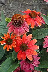 Sombrero® Hot Coral Coneflower (Echinacea 'Balsomcor') at English Gardens