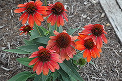 Sombrero® Flamenco Orange Coneflower (Echinacea 'Balsomenco') at English Gardens