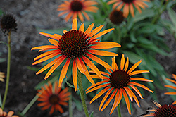 Flame Thrower Coneflower (Echinacea 'Flame Thrower') at English Gardens