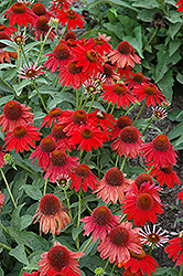 Sombrero® Salsa Red Coneflower (Echinacea 'Balsomsed') at English Gardens