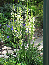 Semiplena Camassia (Camassia leichtlinii 'Semiplena') at English Gardens