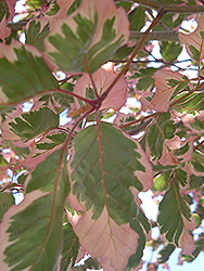 Tricolor Beech (Fagus sylvatica 'Tricolor') at English Gardens