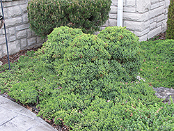 Dwarf Japgarden Juniper (Juniperus procumbens 'Nana') at English Gardens