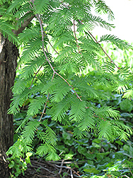 Dawn Redwood (Metasequoia glyptostroboides) at English Gardens