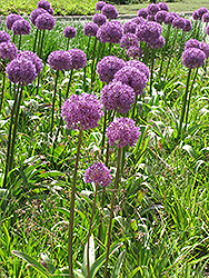 Giant Onion (Allium giganteum) at English Gardens